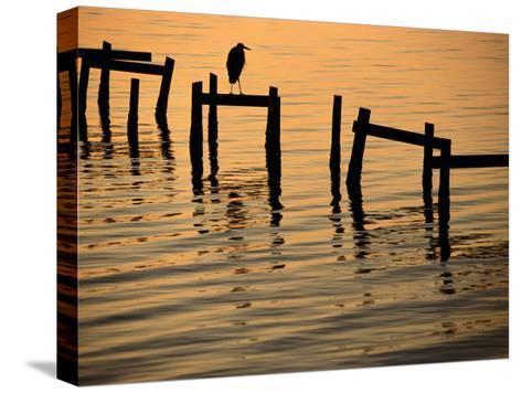 Heron on Dock-Joel Sartore-Stretched Canvas Print