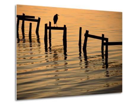 Heron on Dock-Joel Sartore-Metal Print