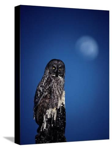 Great Gray Owl (Strix Nebulosa) on a Stump-Michael S^ Quinton-Stretched Canvas Print