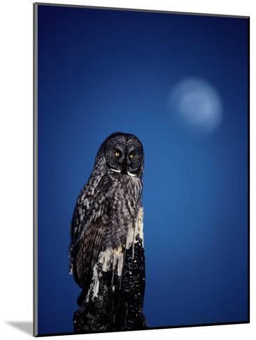 Great Gray Owl (Strix Nebulosa) on a Stump-Michael S^ Quinton-Mounted Photographic Print