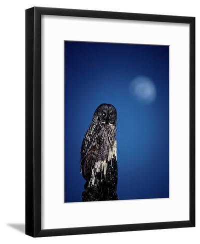 Great Gray Owl (Strix Nebulosa) on a Stump-Michael S^ Quinton-Framed Art Print