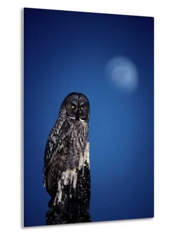 Great Gray Owl (Strix Nebulosa) on a Stump-Michael S^ Quinton-Metal Print