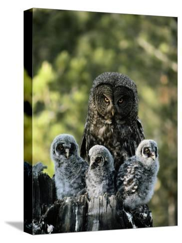 Female Great Gray Owl and Her Three Babies-Michael S^ Quinton-Stretched Canvas Print