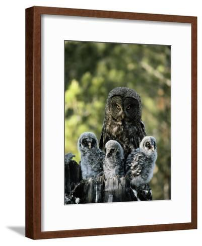 Female Great Gray Owl and Her Three Babies-Michael S^ Quinton-Framed Art Print