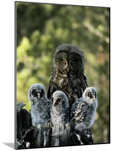 Female Great Gray Owl and Her Three Babies-Michael S^ Quinton-Mounted Photographic Print