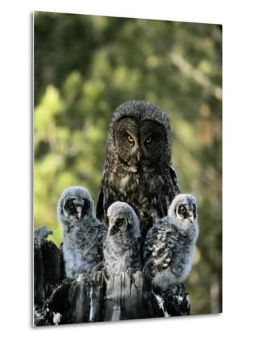 Female Great Gray Owl and Her Three Babies-Michael S^ Quinton-Metal Print