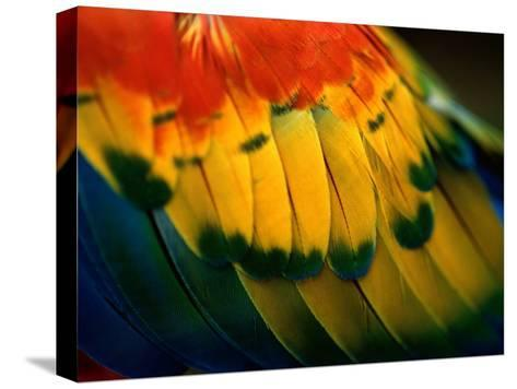 Close View of the Wing of a Colorful Bird-Todd Gipstein-Stretched Canvas Print