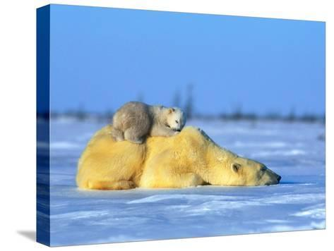 Polar Bear with Young-Norbert Rosing-Stretched Canvas Print