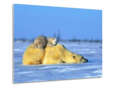 Polar Bear with Young-Norbert Rosing-Metal Print