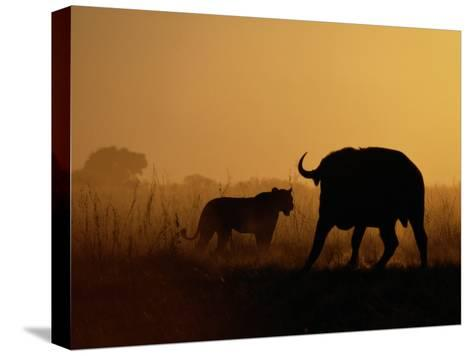 A Lioness Confronts a Cape Buffalo-Beverly Joubert-Stretched Canvas Print