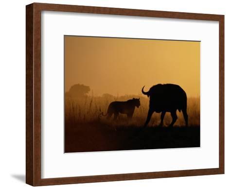 A Lioness Confronts a Cape Buffalo-Beverly Joubert-Framed Art Print