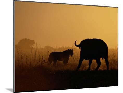 A Lioness Confronts a Cape Buffalo-Beverly Joubert-Mounted Photographic Print