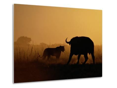 A Lioness Confronts a Cape Buffalo-Beverly Joubert-Metal Print