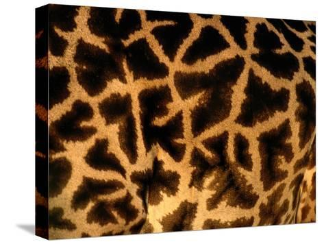 A Close View of a Giraffes Irregular Spots-Michael Nichols-Stretched Canvas Print