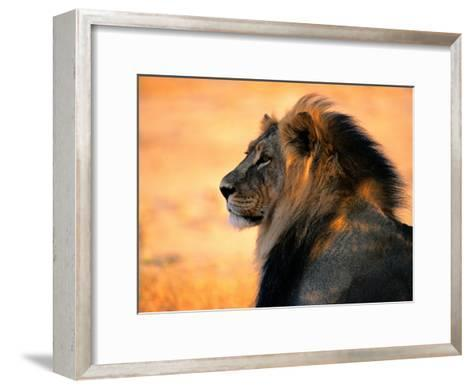 Adult Male African Lion-Nicole Duplaix-Framed Art Print
