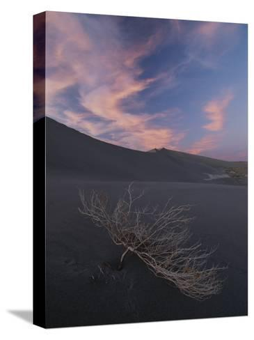 The Withered Branches of a Dead Shrub Lie on a Sand Dune-Michael Melford-Stretched Canvas Print