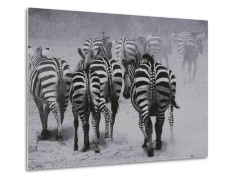 Zebras Kick up a Dust Storm as They Head out of the Area-Bobby Model-Metal Print