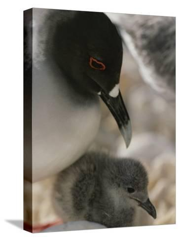 A Close View of a Swallow Tailed Gull and Her Baby-Michael Melford-Stretched Canvas Print