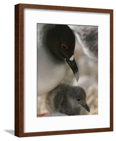 A Close View of a Swallow Tailed Gull and Her Baby-Michael Melford-Framed Art Print