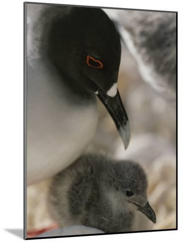 A Close View of a Swallow Tailed Gull and Her Baby-Michael Melford-Mounted Photographic Print