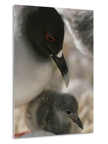 A Close View of a Swallow Tailed Gull and Her Baby-Michael Melford-Metal Print