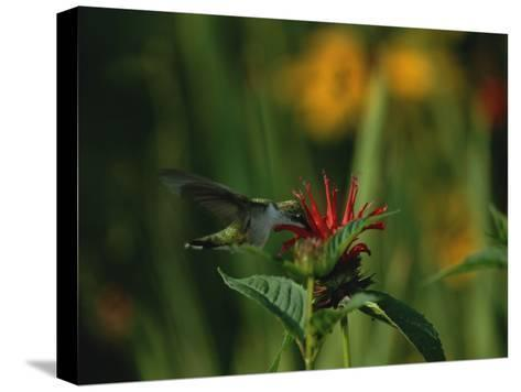 A Hummingbird at a Flower in Rock Creek Park-Taylor S^ Kennedy-Stretched Canvas Print