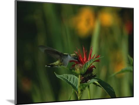 A Hummingbird at a Flower in Rock Creek Park-Taylor S^ Kennedy-Mounted Photographic Print