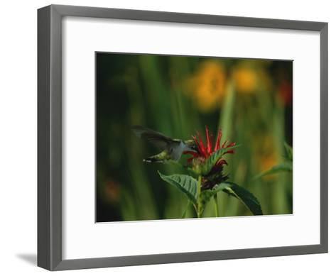 A Hummingbird at a Flower in Rock Creek Park-Taylor S^ Kennedy-Framed Art Print