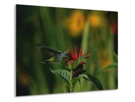 A Hummingbird at a Flower in Rock Creek Park-Taylor S^ Kennedy-Metal Print