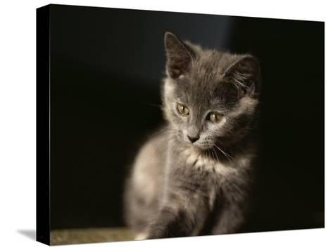 Close View of a Gray Kitten-Stephen St^ John-Stretched Canvas Print