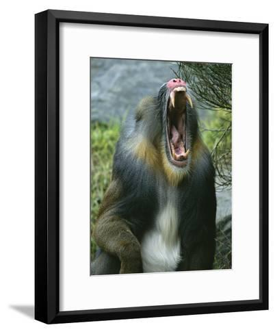 A Yawning Mandrill-Roy Toft-Framed Art Print
