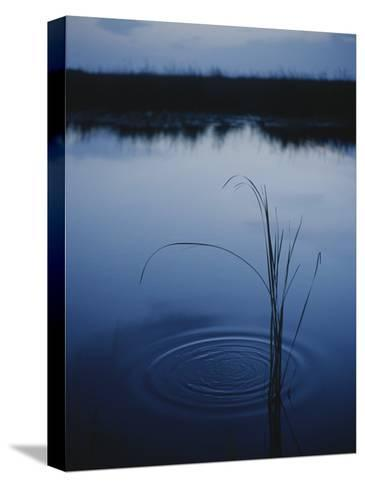 Ripples Form Around a Grass Stalk in a Calm Body of Water-Raul Touzon-Stretched Canvas Print