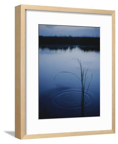 Ripples Form Around a Grass Stalk in a Calm Body of Water-Raul Touzon-Framed Art Print
