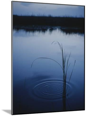 Ripples Form Around a Grass Stalk in a Calm Body of Water-Raul Touzon-Mounted Photographic Print