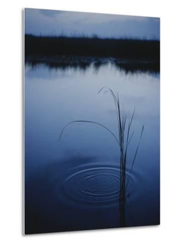 Ripples Form Around a Grass Stalk in a Calm Body of Water-Raul Touzon-Metal Print