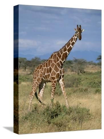A Reticulated Giraffe on a Samburu Savanna-Roy Toft-Stretched Canvas Print