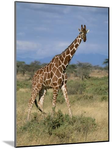 A Reticulated Giraffe on a Samburu Savanna-Roy Toft-Mounted Photographic Print