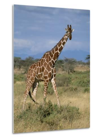 A Reticulated Giraffe on a Samburu Savanna-Roy Toft-Metal Print