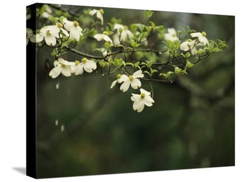Delicate White Dogwood Blossoms Cover a Tree in the Early Spring-Raymond Gehman-Stretched Canvas Print