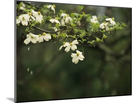 Delicate White Dogwood Blossoms Cover a Tree in the Early Spring-Raymond Gehman-Mounted Photographic Print