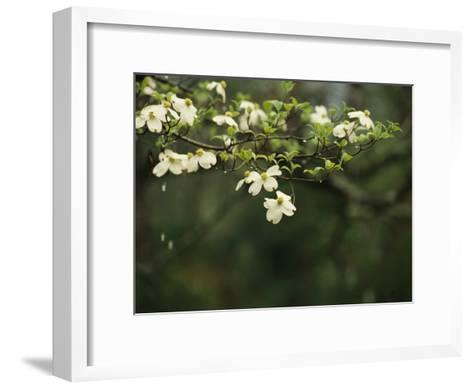 Delicate White Dogwood Blossoms Cover a Tree in the Early Spring-Raymond Gehman-Framed Art Print
