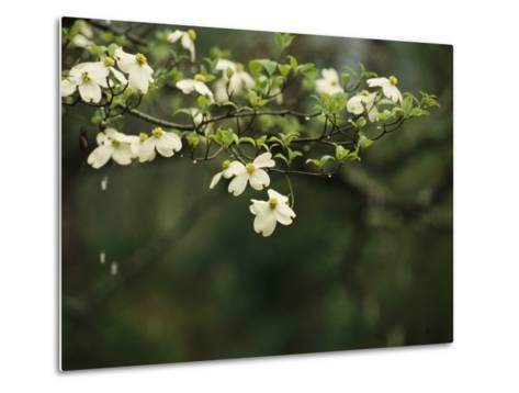 Delicate White Dogwood Blossoms Cover a Tree in the Early Spring-Raymond Gehman-Metal Print
