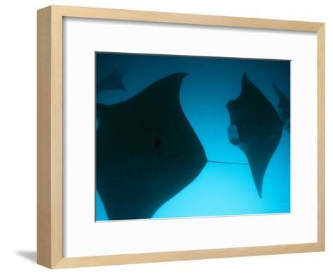 A Group of Silhouetted Manta Rays Swimming Gracefully-Heather Perry-Framed Art Print