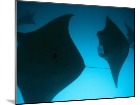 A Group of Silhouetted Manta Rays Swimming Gracefully-Heather Perry-Mounted Photographic Print