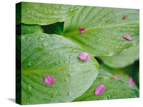 Pink Flower Petals Resting on Dew Drenched Hosta Leaves-Heather Perry-Stretched Canvas Print
