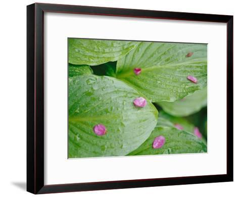 Pink Flower Petals Resting on Dew Drenched Hosta Leaves-Heather Perry-Framed Art Print