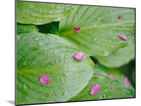 Pink Flower Petals Resting on Dew Drenched Hosta Leaves-Heather Perry-Mounted Photographic Print