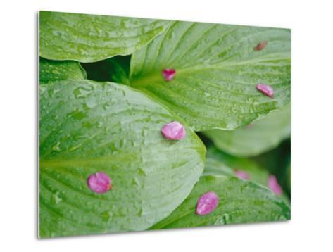 Pink Flower Petals Resting on Dew Drenched Hosta Leaves-Heather Perry-Metal Print
