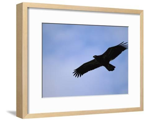 Silhouetted Golden Eagle in Flight over Adak Island-Joel Sartore-Framed Art Print