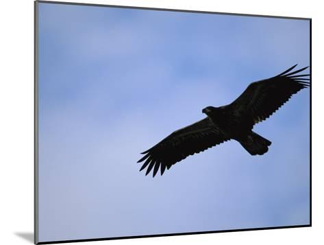Silhouetted Golden Eagle in Flight over Adak Island-Joel Sartore-Mounted Photographic Print